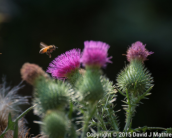 Honey Bee approaching a Thistle flower. Image taken with a Nikon D810a camera and 80-400 mm VRII lens. (David J Mathre)
