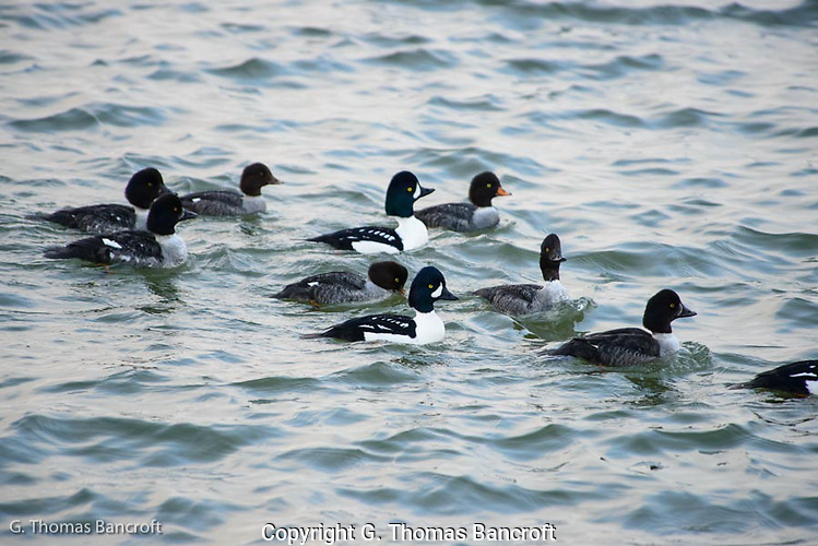 A small raft of Goldeneyes pass along the shore.  The adult female has the yellow-orage bill.  The adult males have the white cresent moon at the base of their bill.  Several first winter birds are also present. (G. Thomas Bancroft)