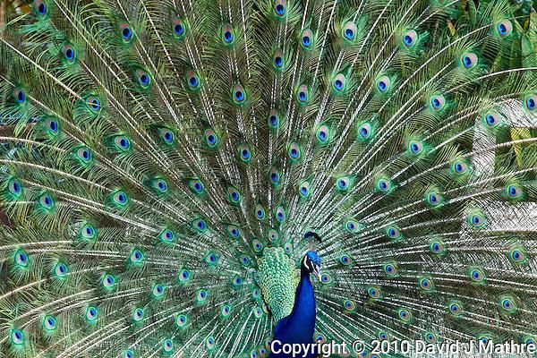 Male Peacock (David J Mathre)