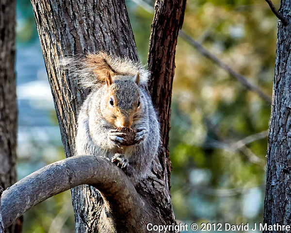 Squirrel with a nut on a sunny winter day. Backyard nature in New Jersey. Image taken with a Nikon 1 V1 camera, FT1 adapter, and 70-200 mm f/2.8 VRII lens (ISO 800, 200 mm, f/8, 1/125 sec). (David J Mathre)