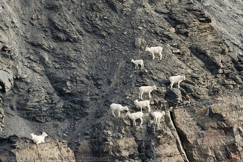 Dall sheep photos: Dall sheep ewes and lambs climb along the rocky cliffs of the Brooks Range, Arctic, Alaska. (Patrick J. Endres / AlaskaPhotoGraphics.com)