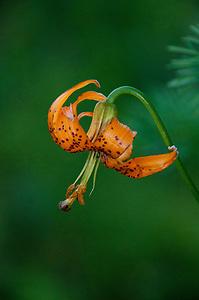 Tiger Lily, Alpine Lakes Wilderness, Mt. Baker-Snoqualmie National Forest, Washington, US (Roddy Scheer)
