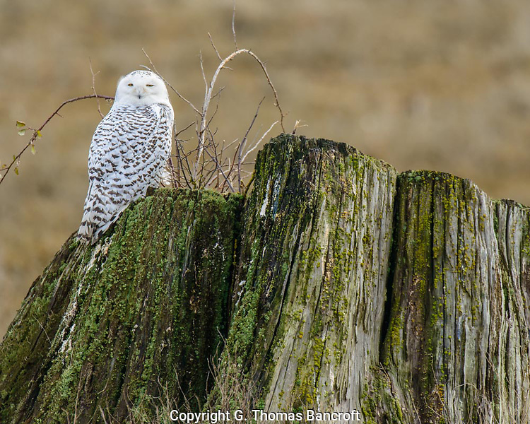 The Snowy Owl stood upright on the edge fo the stump, looking gradually from one side to another.  Its eyes partially closed and seemed to be just enjoying the morning. (G. Thomas Bancroft)