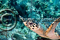 Hawksbill Turtle, Eretmochelys imbriocota, (Linnaeus, 1766), Grand Cayman (Steven W Smeltzer)