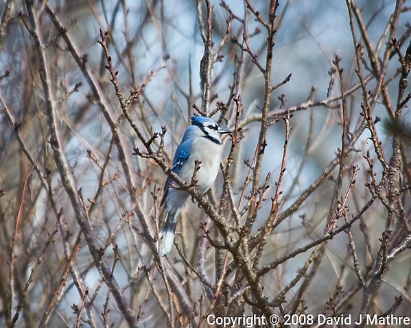 Blue Jay perched on a branch. Image taken with a Nikon D300 camera and 80-400 mm VR lens (ISO 200, 400 mm, f/5.6, 1/500 sec). (David J Mathre)