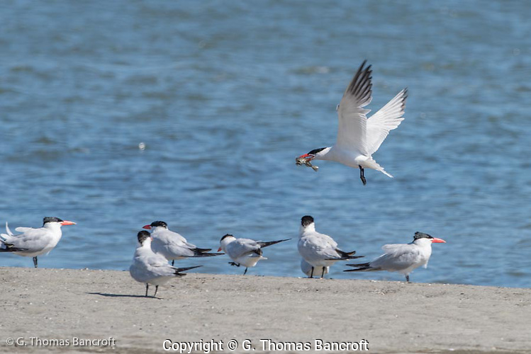 A Caspian tern with a fish flies low over a roosting flock giving courtship calls to entice a female to follow. (G. Thomas Bancroft)