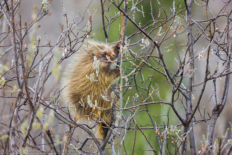 Porcupine in willow tree (Patrick J. Endres / AlaskaPhotoGraphics.com)