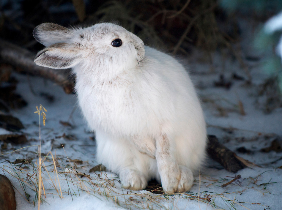 December 23, 2010, Snowshoe Hare (Lepus americanus) in white winter morph, Anchorage, Alaska, United States. (Ron Karpilo)