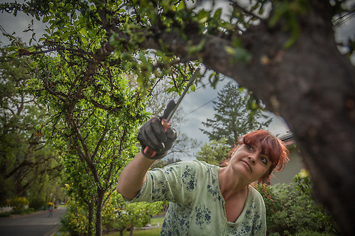 "Landscaper and Calistoga resident Tammy McClain removes bugs from a plumb tree on Cedar Stree in Calistoga, CA  ""This is a new job for me...I've spent most of the last eleven years under floresant lights...I love being outside...I love the dirt."" (Clark James Mishler)"