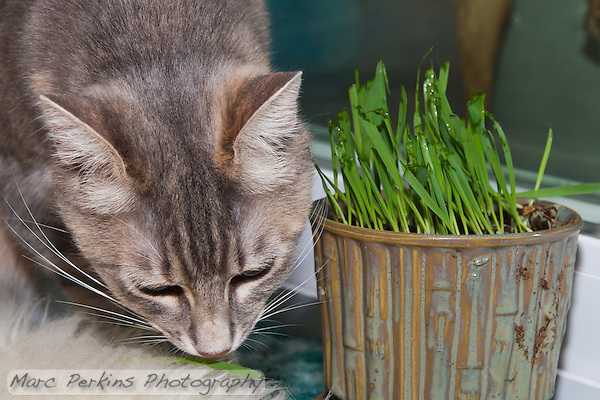 Lucca sniffs a blade of grass on a sheepskin rug next to a pot filled with newly germinated (and nibbled on) oat grass (tack oats; Avena sativa). (Marc C. Perkins)