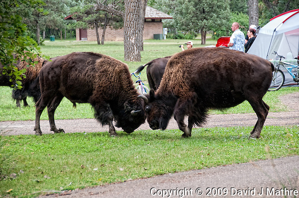 Male Bison Fighting in the Campground at Theodore Roosevelt National Park. Image taken with a Nikon D300 and 18-200 mm lens. (David J. Mathre)