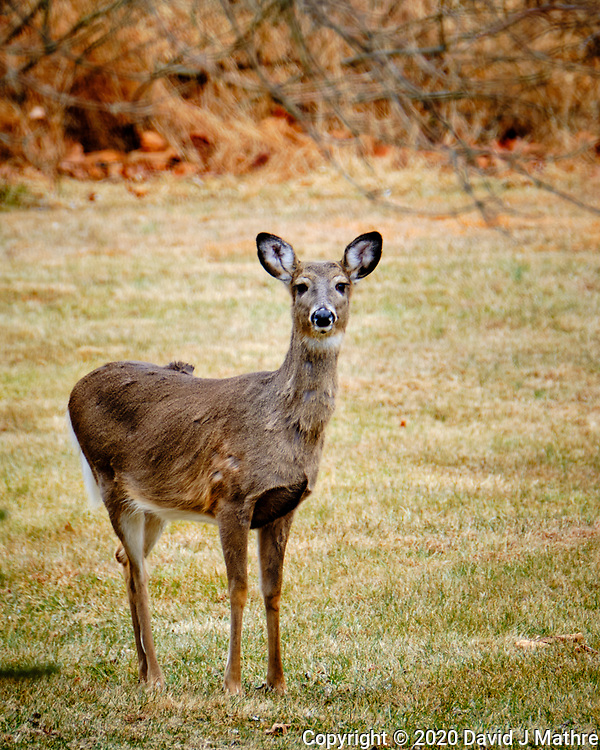 Wary Doe. Image taken with a Fuji X-T2 camera and 100-400 mm OIS lens (ISO 200, 400 mm, f/6.4, 1/60 sec) (David J Mathre)