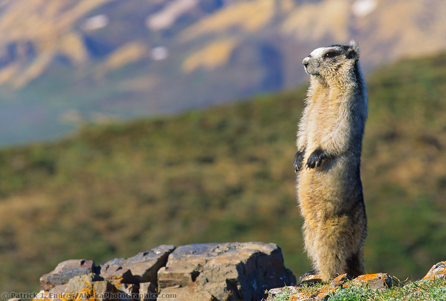 alaska wildlife photos: Hoary Marmot stands upright, on alert on a mountain ridge, Denali National Park, Alaska. (Patrick J. Endres / AlaskaPhotoGraphics.com)