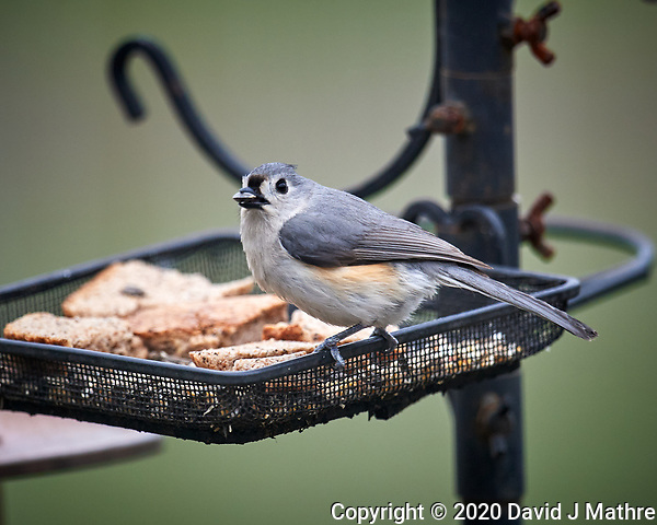 Tufted Titmouse. Image taken with a Nikon D5 camera and 600 mm f/4 VR lens (ISO 640, 600 mm, f/4. 1/1250 sec) (DAVID J MATHRE)