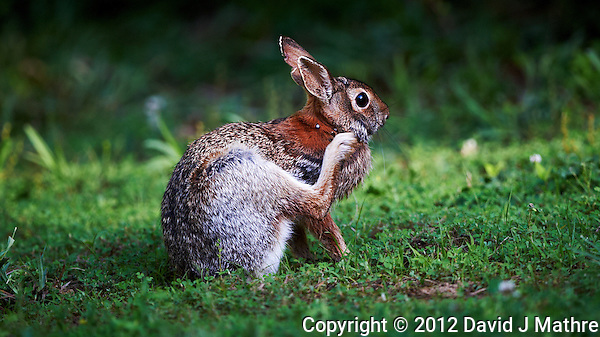 Rabbit Trying to Remove the Big Ticks on its Neck. Image taken with a Nikon D3s and 500 mm f/4 VR lens (ISO 900, 500 mm, f/4, 1/500 sec). (David J Mathre)