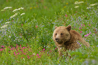 A grizzly sow enjoys the lush summer vegetation on Dunraven Pass in Yellowstone Park. As summer progresses through the dog days of August, grizzlies will leave these mountain meadows to search for army cutworm moths in the boulder fields of the alpine tundra. (Sandy Sisti)