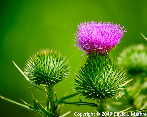 Purple Thistle Flower. Image taken with a Fuji X-T2 camera and 100-400 mm OIS lens (David J Mathre)
