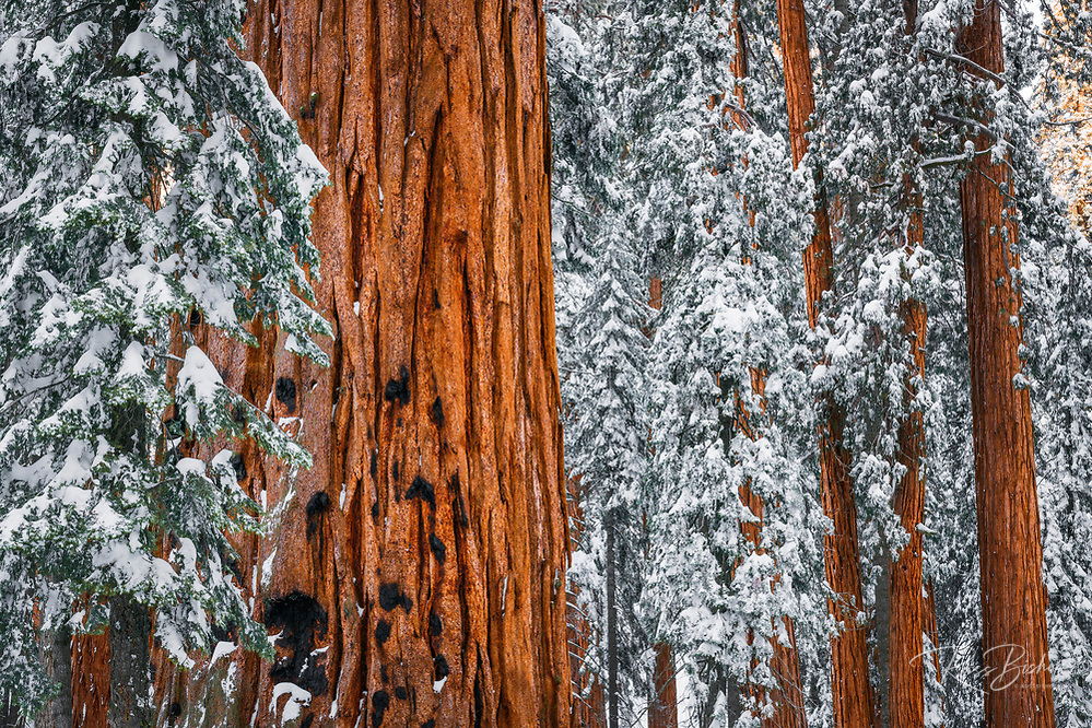 Giant Sequoia in the Congress Grove in winter, Giant Forest, Sequoia National Park, California USA | ©Russ Bishop