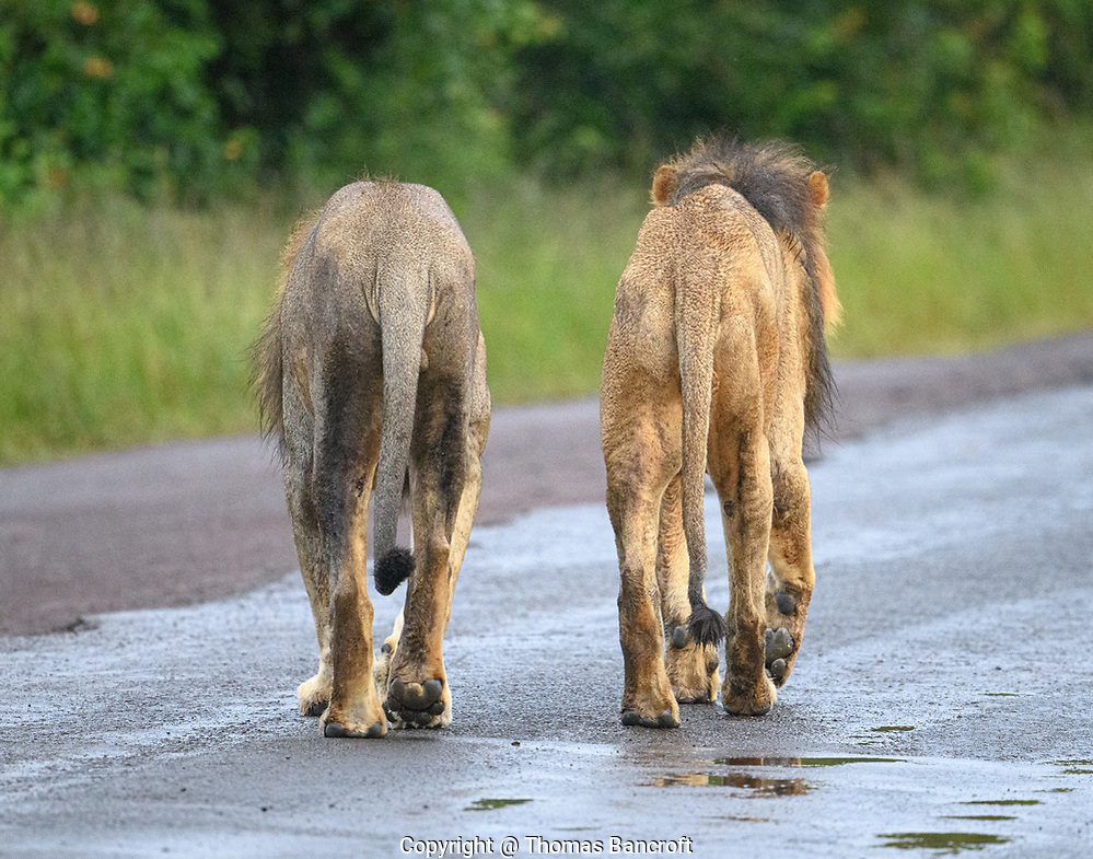 Two male lions walk together at Nairobi National Park. These most likely are brothers and have been together all their lives. (Thomas Bancroft)