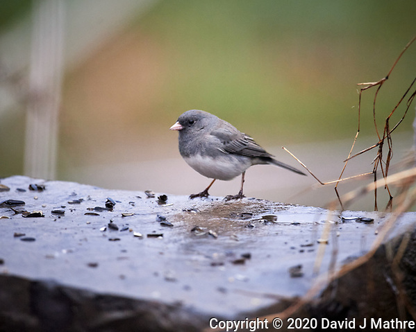 Dark-eyed Junco looking for food on a rainy morning. Image taken with a Nikon D5 camera and 600 mm f/4 VR lens (ISO 1600, 600 mm, f/4, 1/640 sec). (DAVID J MATHRE)