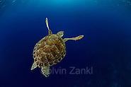 Green sea turtle (Chelonia mydas) | Grüne Meeresschildkröte (Chelonia mydas) im Freiwasser auf ihrem Weg zum nächsten Atemzug. Etwa alle 45 Minuten müssen Meeresschildkröten wieder an die Oberfläche, um dort vor dem erneuten Abtauchen mehrere Atemzüge zu nehmen. (Solvin Zankl)