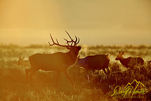 Prancing Bull Elk, Sunrise, Grand Teton National Park (© Daryl L. Hunter - The Hole Picture/Daryl L. Hunter)