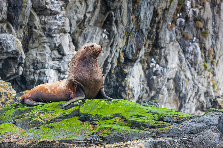 Marine wildlife photos: A large male Steller sea lion rests on a rocky island covered in green seaweed near Hinchinbrook Island in Prince William Sound, southcentral, Alaska. (Patrick J. Endres / AlaskaPhotoGraphics.com)