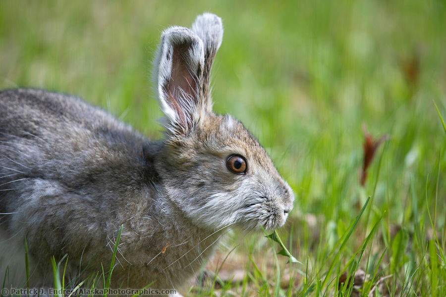 Snowshoe hare feeds on fresh spring grass in Fairbanks, Alaska. (© Patrick J Endres / www.AlaskaPhotoGraphics.com)