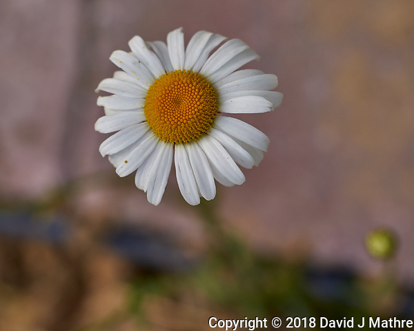 Daisy. Image taken with a Leica TL2 camera and 60 mm f/2.8 macro lens. (David J Mathre)