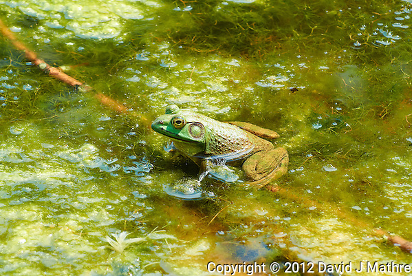 Bullfrog in a Pond at the Sourland Mountain Preserve. Summer Nature in New Jersey. Image taken with a Nikon 1 V1 + FT1 + 70-300 mm VR lens (ISO 200, 135 mm, f/5.6, 1/320 sec) and monopod. [FOV Equivalent to ~ 365 mm on a 35 mm image sensor] (David J Mathre)