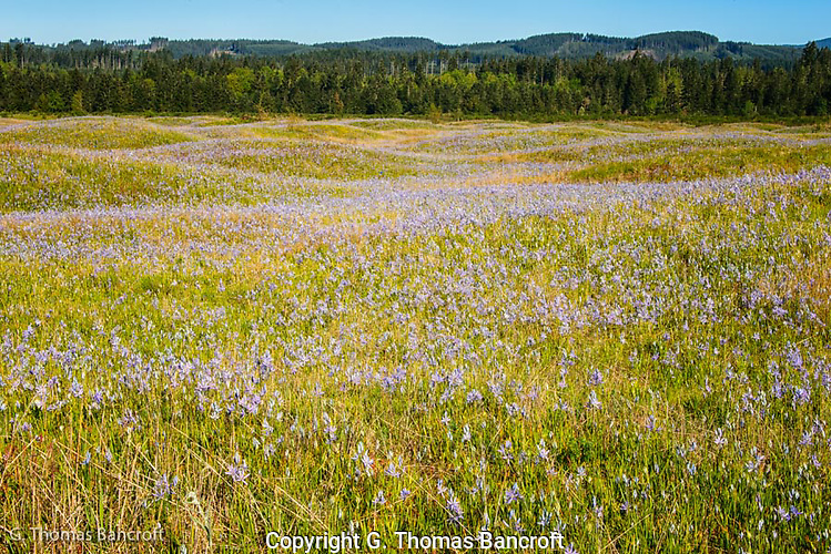 The undulating landscape is a result of the glaceral outflow forming the mounds.  The rocky soil drains well making idea grassland habitat.  The carpet of cama lilies was spectacular and stretched across the prairie. (G. Thomas Bancroft)