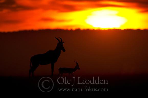 Topi (Damaaliscus korrigum) in Masai Mara, Kenya (Ole Jørgen Liodden)
