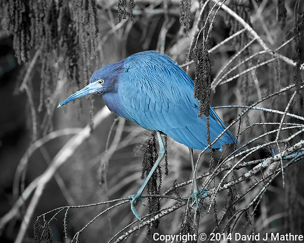 Little Blue Heron at Clyde Butcher's Front Pond. Big Cypress National Preserve in Florida. Image taken with a Nikon Df camera and 80-400 mm VRII lens (ISO 1600, 400 mm, f/5.6, 1/400 sec). Black and White + One Color using Capture One Pro 7. (David J Mathre)
