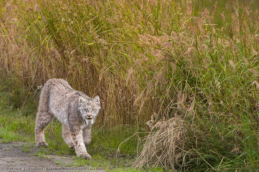 Lynx walks along a grassy field in Katmai National Park, Alaska. (Patrick J. Endres / AlaskaPhotoGraphics.com)