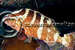 Nassau Grouper, Epinephelus striatus, Grand Cayman (StevenWSmeltzer.com)