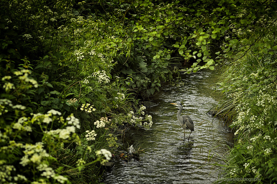 A Heron wades through a local stream carefully eying passers by while keeping a watchful eye on the water for food (Thomas Fitzgerald)
