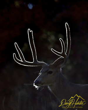 Backlight lights up the velvet of a Mule Deer Buck's antlers in Grand Teton National Park (© Daryl L. Hunter - The Hole Picture/Daryl L. Hunter)