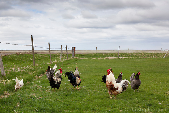 Rooster and Hens outside a farm in South Iceland. (Christopher Lund/©2011 Christopher Lund)