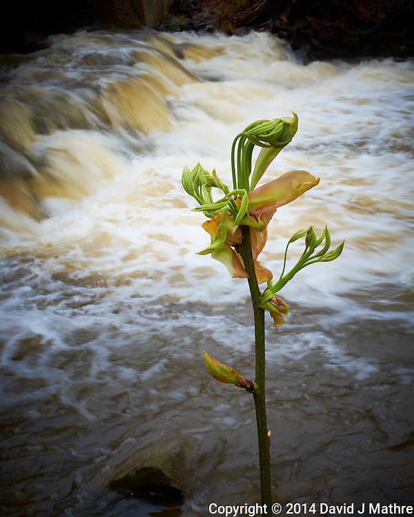 Emerging Spring Tree Leaves the Survived the Flooding Along Rock Brook Last Night. Spring Nature in New Jersey. Image taken with a Fuji X-T1 camera and 23 mm f/1.4 lens (ISO 200, 23 mm, f/16, 1/17 sec). (David J Mathre)