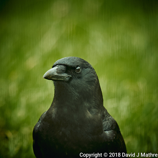 American Black Crow. Image taken with a Nikon D4 camera and 600 mm f/4 VR lens (ISO 360, 600 mm, f/4, 1/200 sec). (David J Mathre)