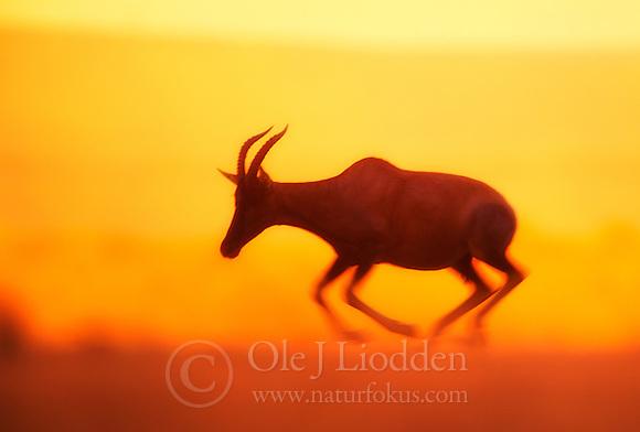 Topi (Damaliscus korrigum) in Masai Mara, Kenya (Ole Jørgen Liodden)