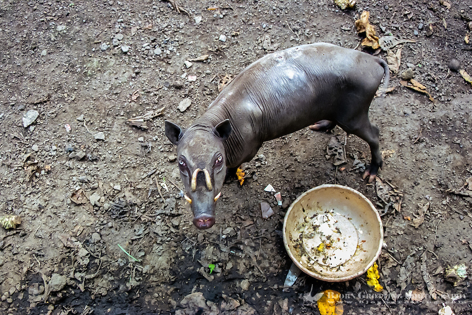 North Sulawesi, Bitung. Babirusa, local wild pig with teeth curved backwards. Zoo in Bitung. (Photo Bjorn Grotting)