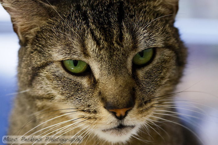 "Trista, a three year old female short-haired brown tabby cat with green eyes (and a white chin), staring off into the distance in this super-closeup image focusing just on her face.  I love how proud and strong she looks here; ""don't mess with me"" is almost certainly her motto.  Trista has a face that looks somewhat like a mountain lion to me; a bit more elongated than your typical domesticated cat.  Trista is up for adoption at Miss Kitty's Rescue in Costa Mesa, CA.  This picture was taken pro bono for Miss Kitty's Rescue to help them advertise the cats for adoption. (Marc C. Perkins)"