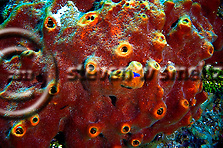 Brown Encrusting Octopus Sponge, Ectyoplasia ferox, No Name Wall, Grand Cayman (Steven Smeltzer)