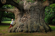 """Stieleiche (Quercus robur) im Fredville Park in Nonington (Grafschaft Kent, England). Der Baum hat einen Stammumfang von 12 Metern und gehört damit zu den eindruckvollsten Eichen Großbritanniens. Er steht auf einem privaten Grundstück und wird von den Anwohnern """"Majesty"""" (Majestät) genannt. Das Alter des Baumes wird auf 600 bis 1000 Jahre geschätzt. (Solvin Zankl)"""