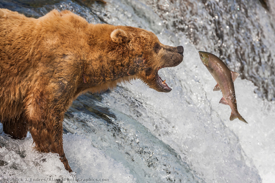 Brown bears fish for red salmon at the Brooks River falls, Katmai National Park, southwest, Alaska. (Patrick J Endres / AlaskaPhotoGraphics.com)