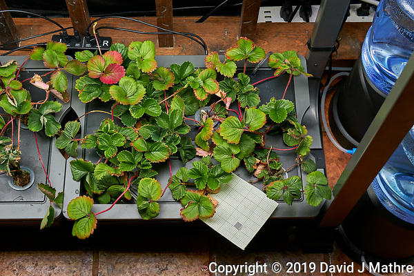 AeroGarden Farm 05 Right Tray at day 28. R01-R12 Sweet Charlie Strawberry Plants (ISONS). Image taken with a Leica TL-2 camera and 35 mm f/1.4 lens (ISO 500, 35 mm, f/8, 1/80 sec). (DAVID J MATHRE)