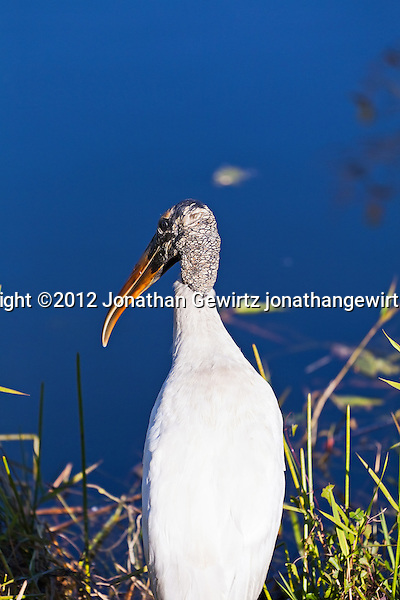 A Wood Stork on the bank of a canal in Everglades National Park, Florida. (© Jonathan Gewirtz)