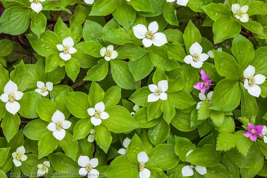 Alaska wildflower photos: Dwarf dogwood in summertime bloom in a boreal forest in Fairbanks, Interior, Alaska. (Patrick J. Endres / AlaskaPhotoGraphics.com)