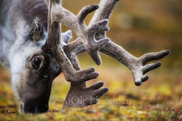 Svalbard Reindeer (Rangifer tarandus) on Spitsbergen (Ole Jørgen Liodden)